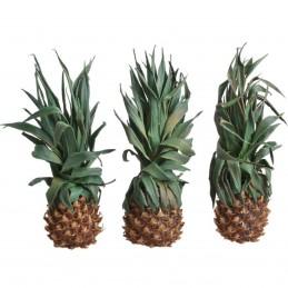 Ananas conservat 25 cm