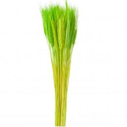 Spice de grau verzi 65 cm