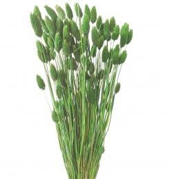 Phalaris, mei verde inchis 60cm, 100g