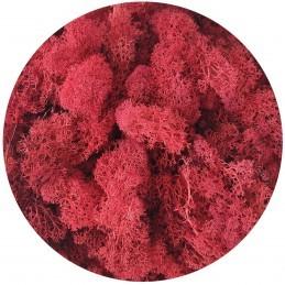 Muschi islandez rosu, licheni stabilizati 250g