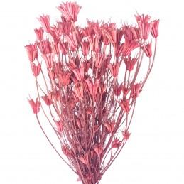 Nigella Orientale roz...