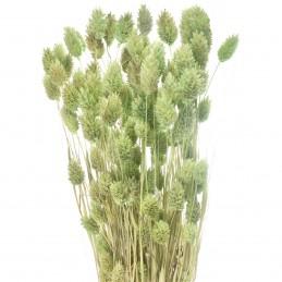 Phalaris, mei verde menta 45cm