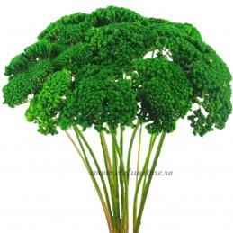 Achillea Verde Inchis 40cm
