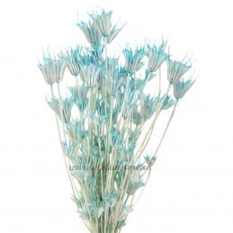 Nigella Orientale bleu 50cm